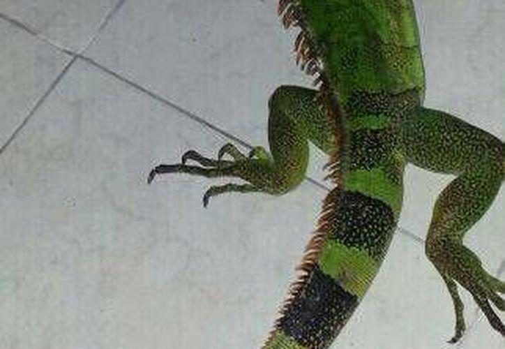 El reptil requiere una protección especial. (Redacción/SIPSE)