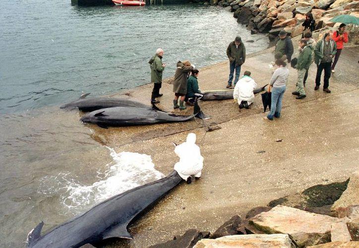 Imagen de un grupo de ballenas varadas. (Archivo/EFE)