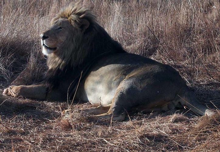 Tras el asesinato del León Cecil, miles de voces en todo el mundo se han alzado a favor de los animales en peligro de extinción. Es por esto que con el Día Mundial del León se busca evitar la extinción de la fiera. (Archivo Notimex)
