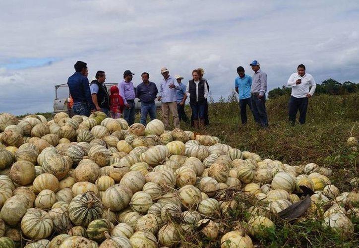 Los productores se han acercado con la empresa Sepronsa, originaria de Puebla, la cual les asegura un precio de 35 pesos para esta temporada. (Edgardo Rodríguez/SIPSE)