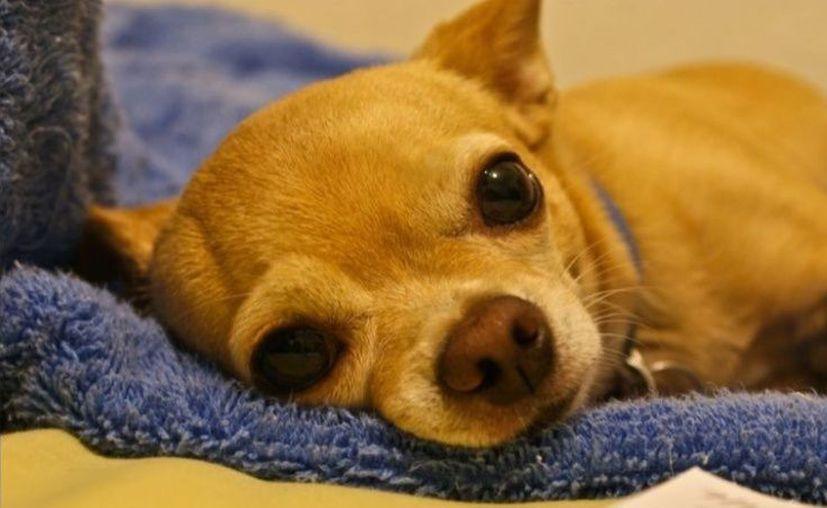 Al menos 200 perros comenzaron a experimentar los mismos síntomas. (Foto: Twitter)