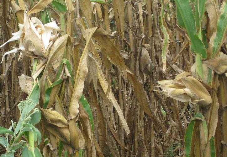 En 2016 se cultivaron 76 mil 708 hectáreas de maíz en el estado, de las cuales, se cosecharon 68 mil 398 y ocho mil 309 hectáreas se siniestraron. (Javier Ortiz/SIPSE)