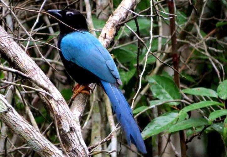 En Campeche hay 489 especies de aves, de las 548 que existen en la Península de Yucatán. (calakmul.conanp.gob.mx)
