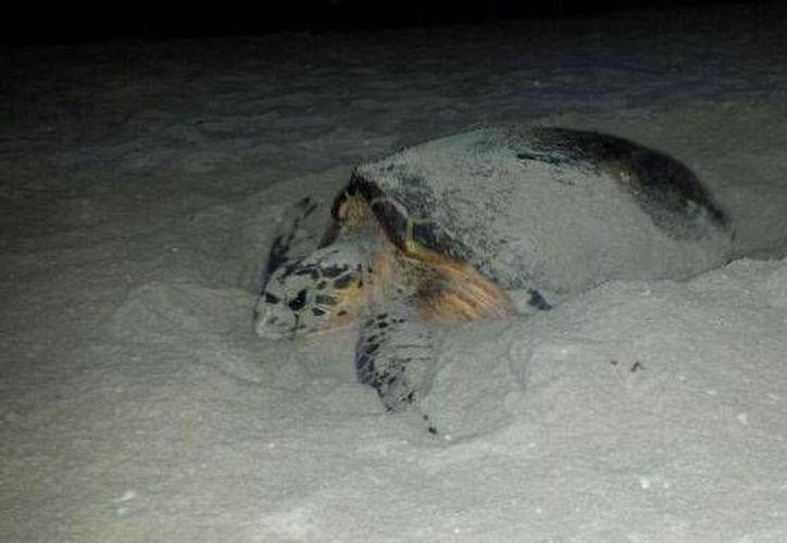 Luego de depositar sus huevos en la playa del malecón de Progreso, la tortuga volvió al mar con ayuda de personal de ecología del puerto. (Óscar Pérez/SIPSE)