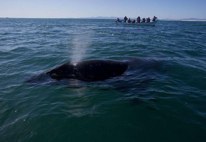 Dos poblaciones de ballenas jorobadas que suelen ingresar en aguas de EU quedarían todavía como amenazadas. (Archivo/AP)