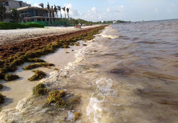 De acuerdo con estudios realizados por la Secretaría de Marina, la acumulación del sargazo en la costa mexicana no es contaminante. (Redacción/SIPSE)