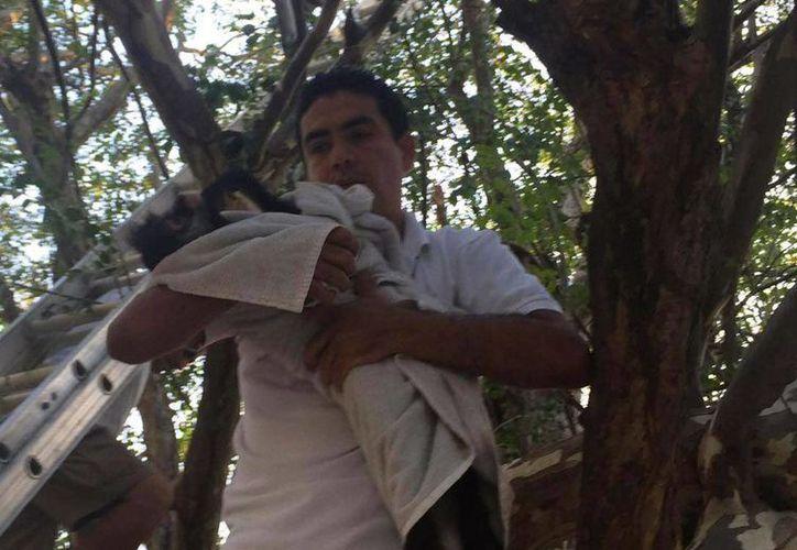 El mono araña que fue visto en la colonia Gonzalo Guerrero de Playa del Carmen fue capturado el miércoles. (Octavio Martínez/SIPSE)