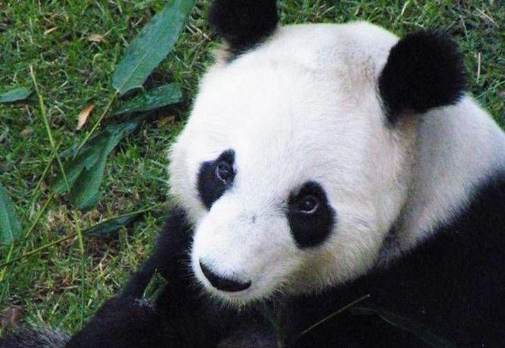 Entre las especies más visitadas está el panda gigante. (Contexto/Internet)