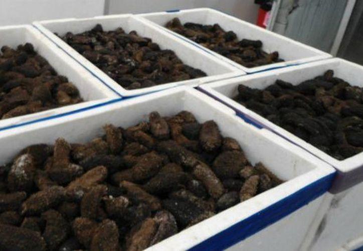 El pepino de mar criado en Campeche tiene un mercado asegurado, indicó la Secretaría de Pesca de esa entidad. (Archivo/Notimex)