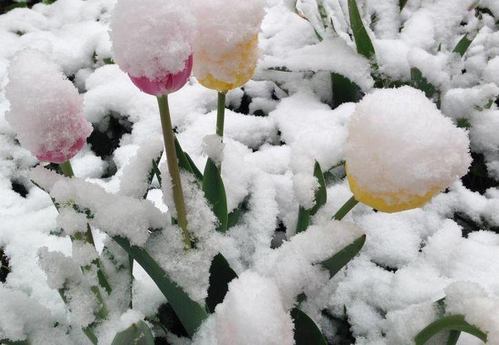 La nieve cubre las flores de primavera en Denver. (Agencias)