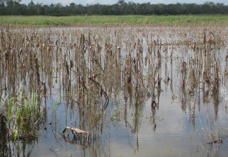 Para valorar el pago del seguro a los campesinos afectados, ProAgro tomó en cuenta los cultivos de maíz de temporal y espeque. (Javier Ortiz/SIPSE)