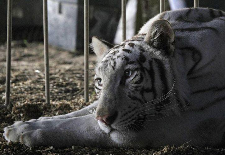 Ocho ayuntamientos poblanos tienen entre sus reglamentos la prohibición de espectáculos circenses con animales. (Archivo/Notimex)