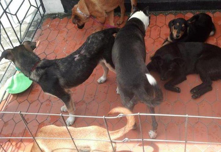 Hasta el momento hay 60 canes en el centro, entre los que dejaron y los que han salido a capturar tras la denuncia de agresividad. (Redacción/SIPSE)