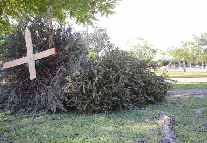 Los centros de acopio de los árboles de Navidad se encuentran distribuidos por toda la ciudad. (Yajahira Valtierra/SIPSE)