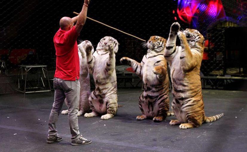 En junio próximo entra en vigor la norma federal que prohíbe la utilización de animales silvestres en espectáculos circenses. (Archivo/Notimex)