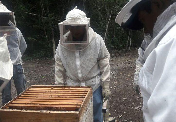 La baja producción de miel debido a las plagas ha hecho que 30 apicultores abandonen esta actividad, en el sur de Quintana Roo. (Joel Zamora/SIPSE)