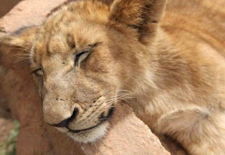 Los restos del león fueron llevados al laboratorio municipal para ser analizados. (Agencias)