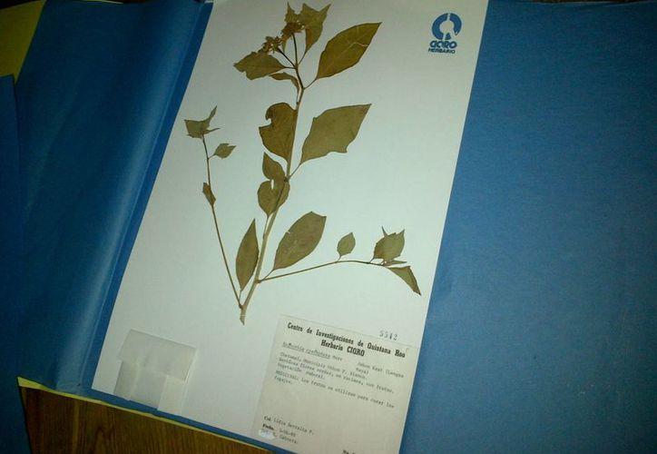 El Ecosur cuenta con un herbario de mil ejemplares de plantas, de las cuales 300 tiene propiedades curativas. (Harold Alcocer/SIPSE)