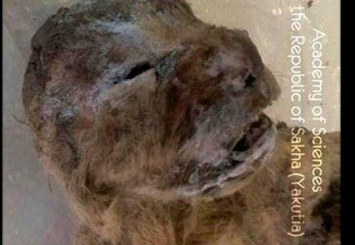 Muchos restos del león de las cavernas fueron encontrados en éstas, pero los científicos dudan que ese haya sido su hábitat. (Excélsior)