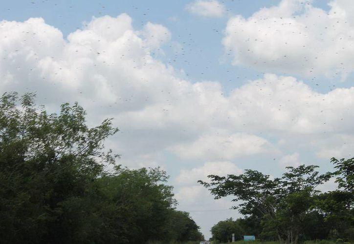 Funcionarios del Gobierno del Estado aseguran que los brotes de langosta están bajo control en Yucatán. (SIPSE)