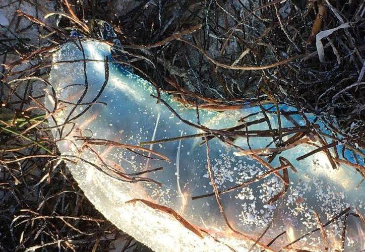 """Las medusas se hicieron presentes en el Estado tras el paso de """"Isidoro"""". (Foto: Milenio Novedades)"""