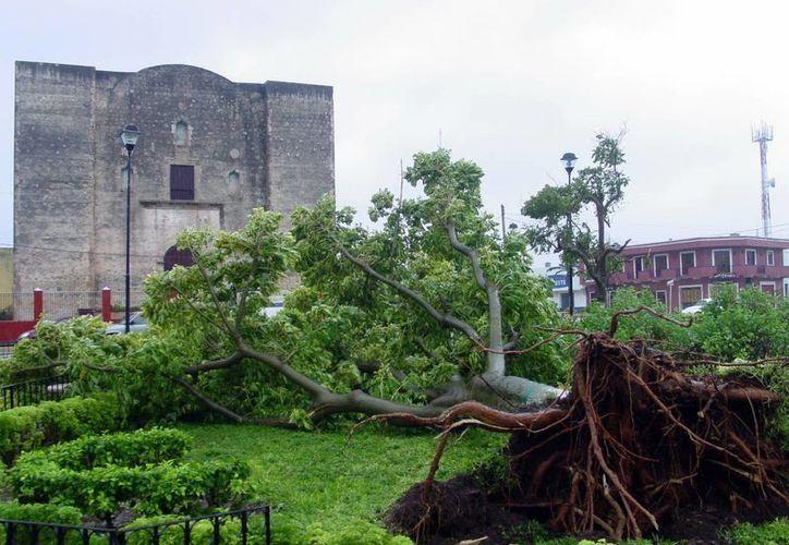 Se estima que en la próxima temporada de huracanes, se formen al menos tres que afecten la zona del Atlántico. En la foto, un árbol derribado debido a un ciclón. (SIPSE)