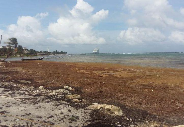 Invade mancha de sargazo a playas de Mahahual. (Foto: Alejandra Carrión)