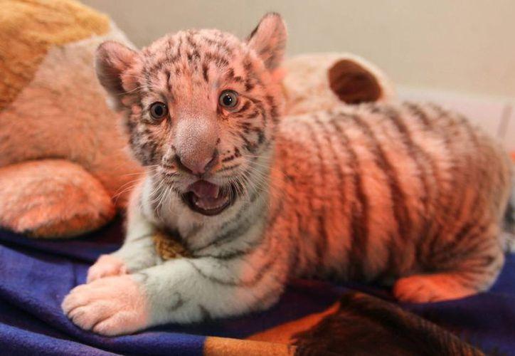 La tigresa tuvo un hermano que murió por debilidad. (EFE)