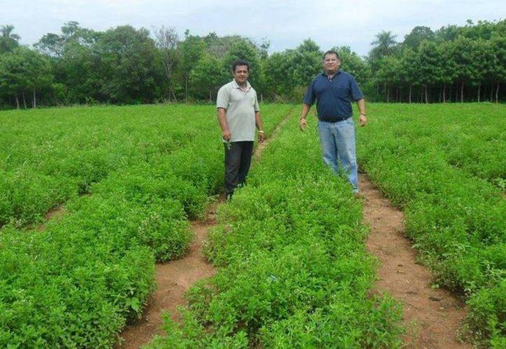 La plaga trips oriental afecta a más de 50 especies vegetales y se ha localizado en Campeche, Yucatán, Quintana Roo, Tabasco, Chiapas, Veracruz y Oaxaca. (Javier Ortiz/SIPSE)