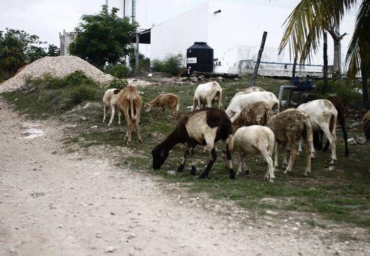 Las 140 mil cabezas de ganado a nivel estatal mantienen su estatus sanitario, para vigilancia y detección de posibles casos. (Harold Alcocer/SIPSE)