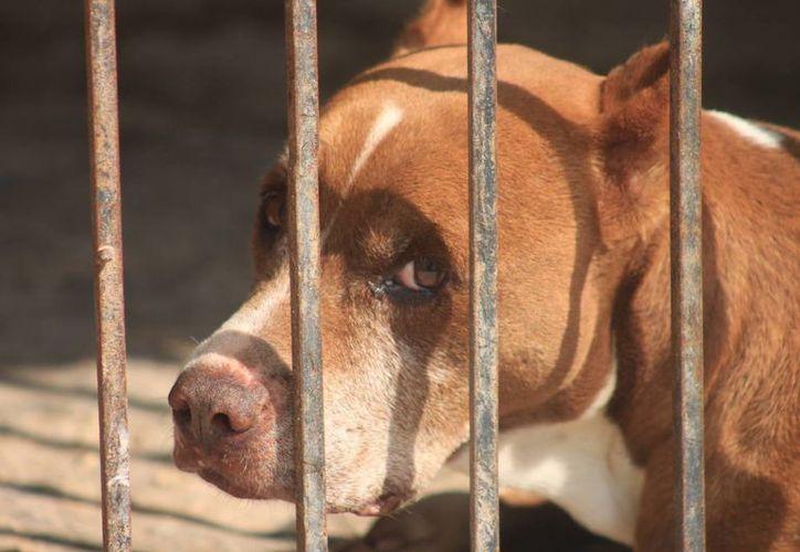 Cientos de dueños irresponsables abandonan a sus mascotas. (Omar Capistrán/SIPSE)