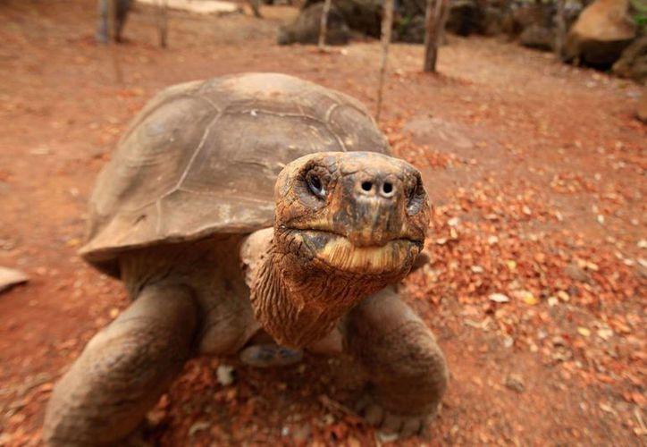 Pepe el Misionero pertenecía a la especie Chelonoidis becki, que habita en la isla Wolf del archipiélago de las Galápagos. (Archivo/AP)