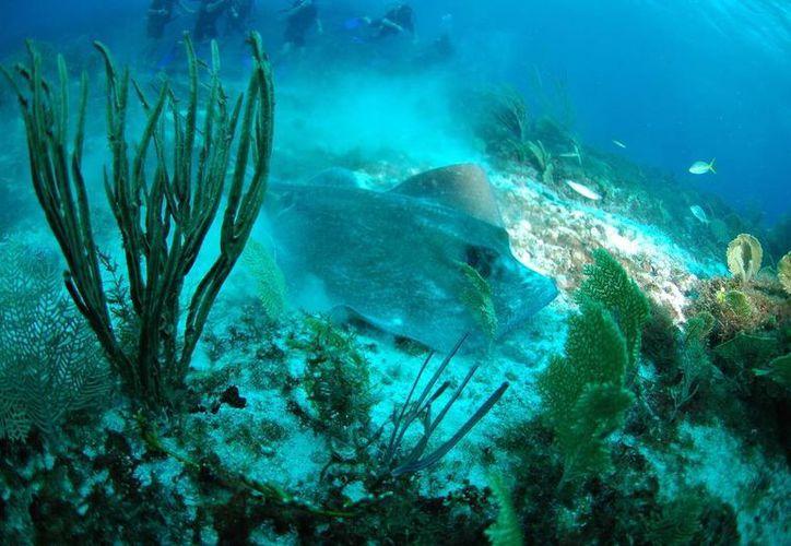 La invasión del pez león y el cambio climático, dos de las amenazas de los corales. (Redacción/SIPSE)