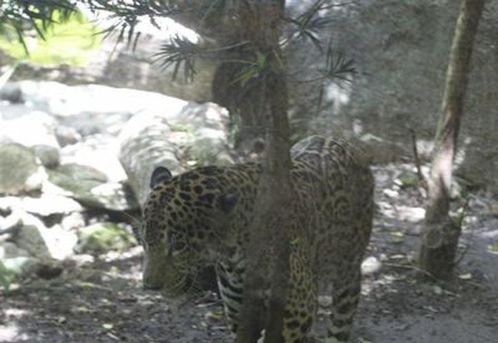 El jaguar es una especie en peligro de extinción. (Harold Alcocer/SIPSE)