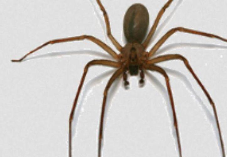 A la araña 'violinista' también como se le conoce como patona o come carne. (Milenio Novedades)