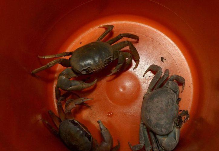 Durante estos días los crustáceos abandonan los agujeros donde viven en la zona de la laguna Nichupté para dirigirse al mar. (Redacción/SIPSE)