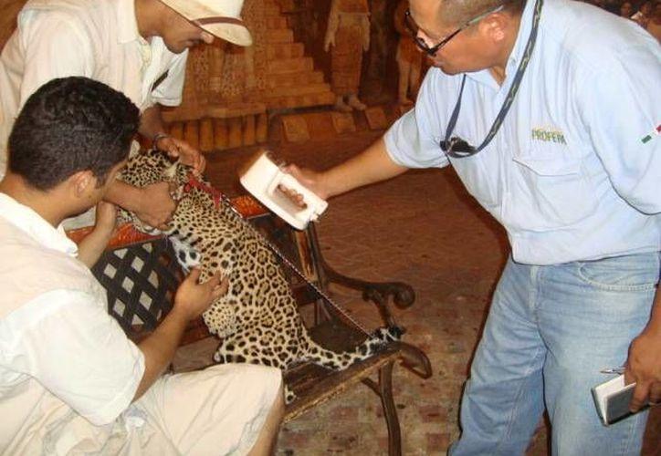 El Ayuntamiento realizarán inspecciones para detectar y sancionar a quienes no cuenten con permisos para exhibir animales. (Redacción/SIPSE)