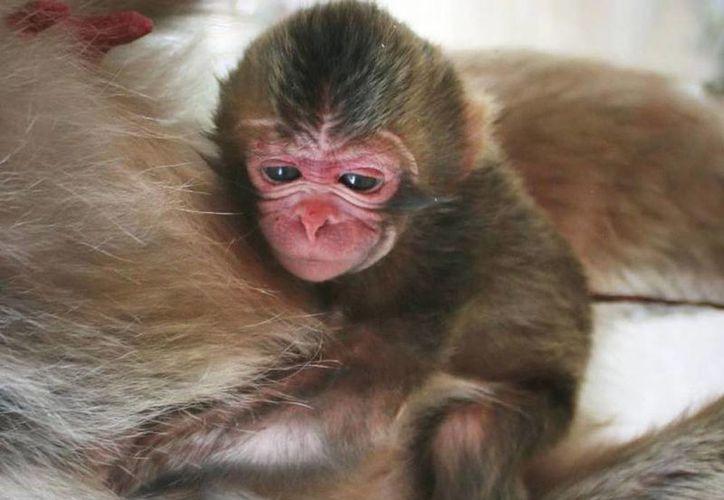 Según el zoológico, tradicionalmente solicita nombres para bautizar a los animales que nacen en cautiverio y en el caso de la bebé mono así lo hizo. (japantimes.co.jp)