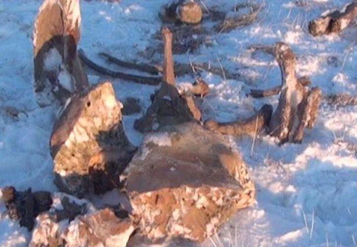 La temperatura al momento de excavar la zona de los restos del mamut era de -7 a -10 grados centígrados. (Agencias)