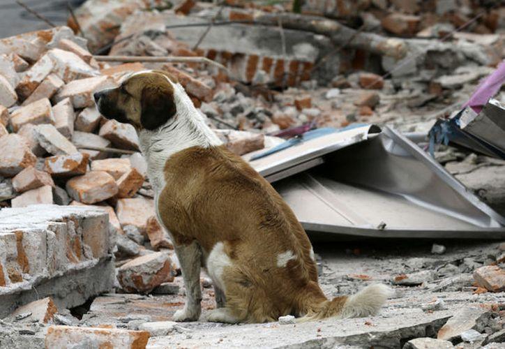 En ocasiones los animales deambulan por las calles tras el sismo. (foto: Televisa News).