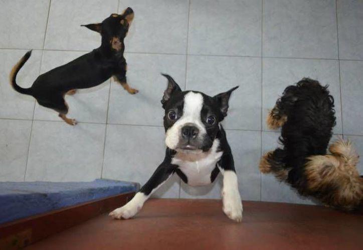 Las multas por no respetar y cuidar a sus mascotas van desde los cinco a los 100 salarios mínimos. (Redacción/SIPSE)