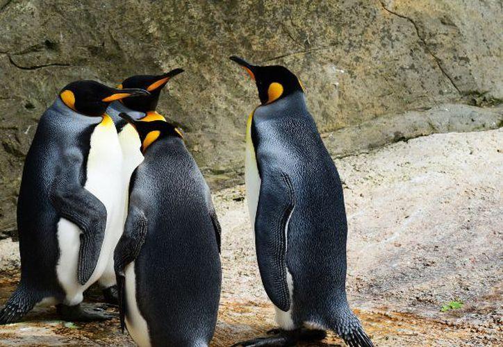El pingüino más grande existente, el emperador de la Antártida, mide 1.2 metros. (Foto: Debate)
