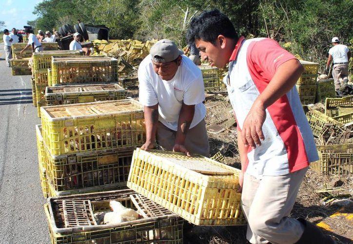 En el accidente en la carretera Hunucmá - Tetiz, los que sacaron la peor parte fueron miles de aves que eran transportadas en un trailer. (Emmanuel Palomo/SIPSE)