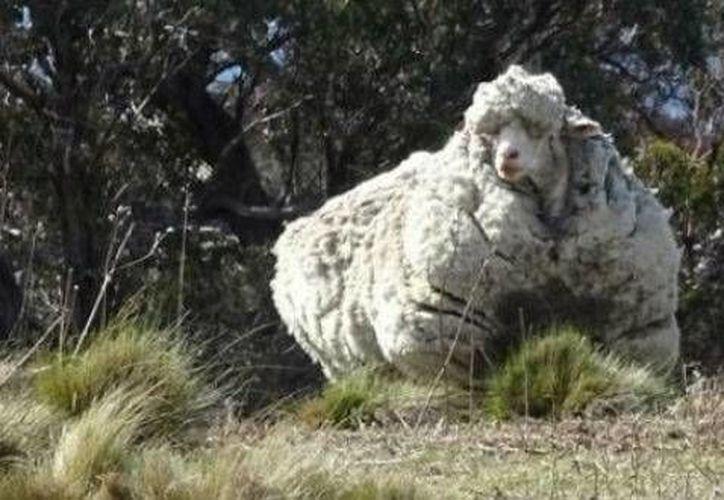 La oveja 'Chris' rompió el récord de 'Shrek', la cual produjo 27 kilos de lana en 2004. (AP)