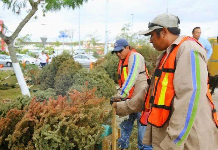 En 2015, más de cuatro mil pinos navideños fueron recolectados en los centros de acopio abiertos por el Ayuntamiento de Mérida. (SIPSE)