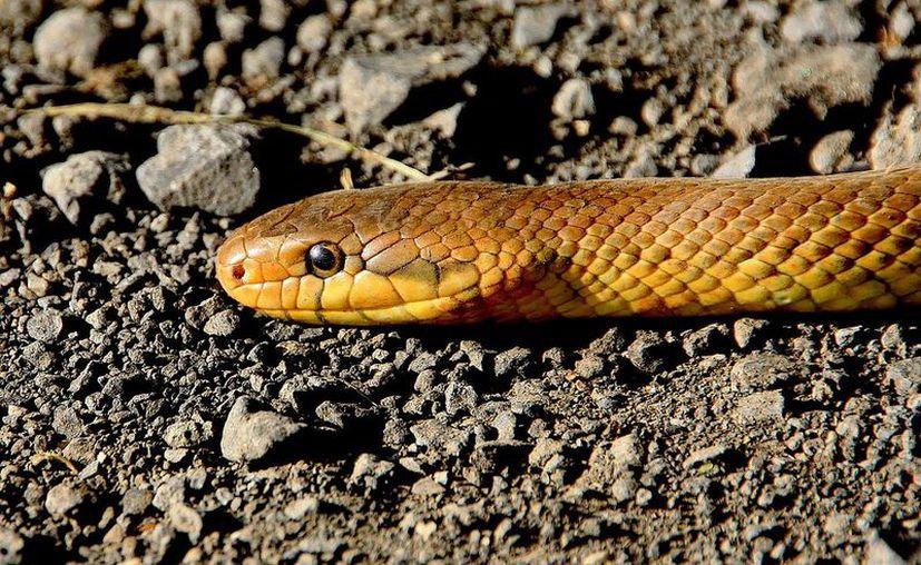 Afortunadamente el reptil no era venenoso, por lo que la vida del hombre no corre peligro. (Pixabay /Imagen ilustrativa)