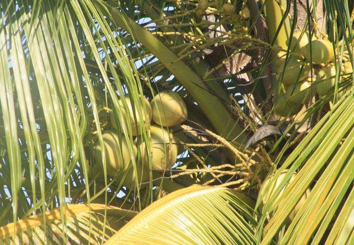 El convenio beneficiará a más de 323 productores de seis comunidades de Othón P. Blanco. (Harold Alcocer/SIPSE)