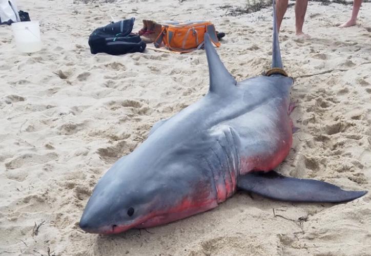 Las causas de la muerte del tiburón blanco todavía no se han establecido. (Foto: Twitter)