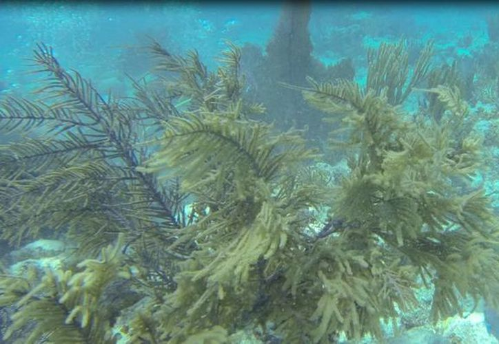 El CEA estudia la presencia de algas, peces herbívoros y el crecimiento de los arrecifes, para determinar su salud. (Cortesía)