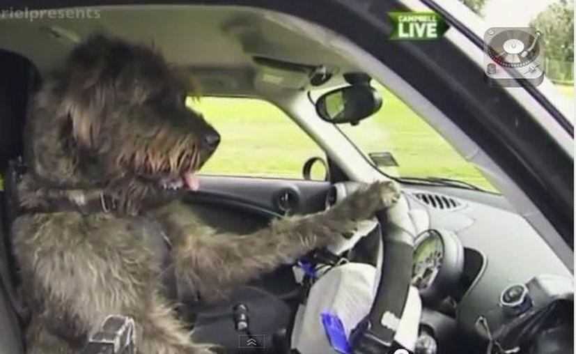 Los canes fueron capacitados en una plataforma motorizada antes de manejar un Mini Cooper. (You Tube)